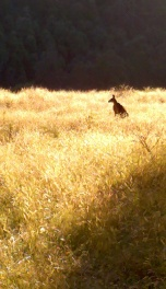 Kangaroo in Sunset Field on the walk to Stevensons Falls