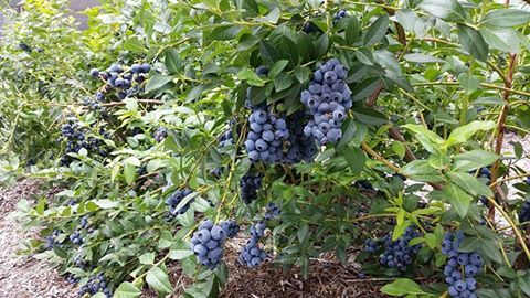 Blueberries for picking in Gellibrand