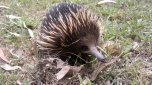 Watch out for Echidnas, busy about their business around the cabins!