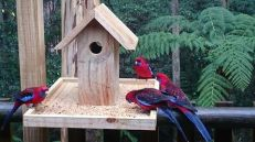 Rosellas feeding on the veranda