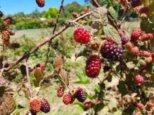There are lots of berry picking farms in Gellibrand and Penny Royal